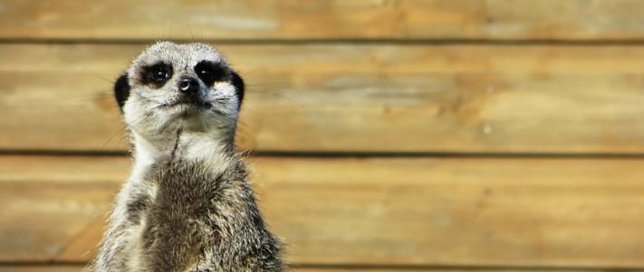 power-of-the-meerkat.jpg